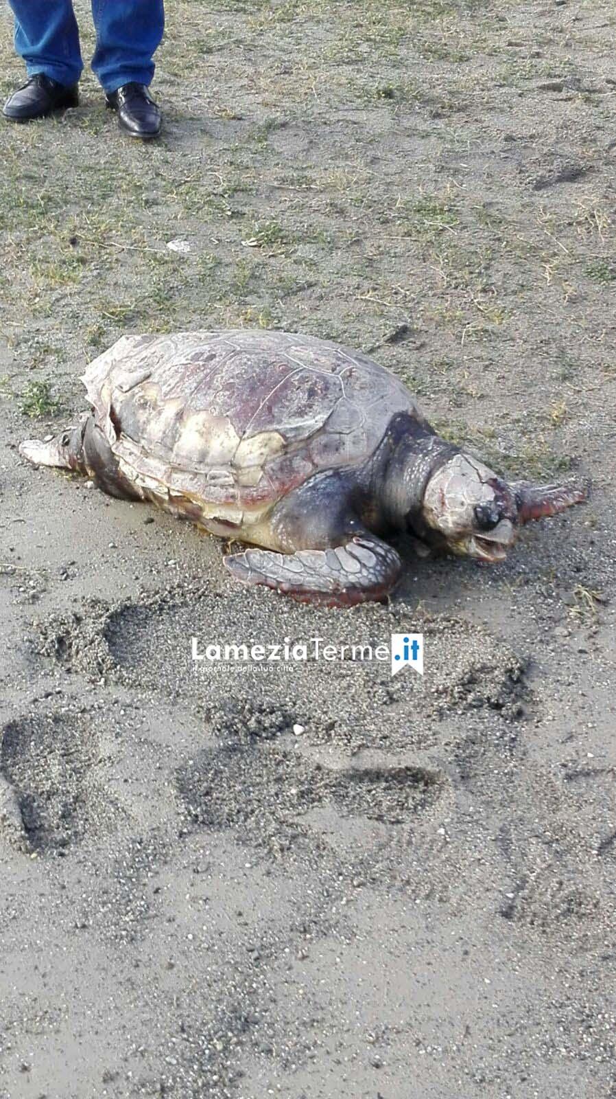 Tartaruga Caretta caretta ritrovata al Cafarone