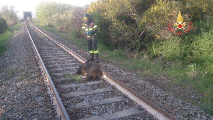 La carcassa del cinghiale investito dal treno a Soverato