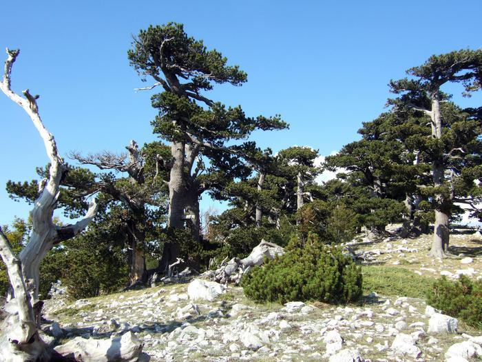 Al Parco nazionale del Pollino l'albero più vecchio Europa