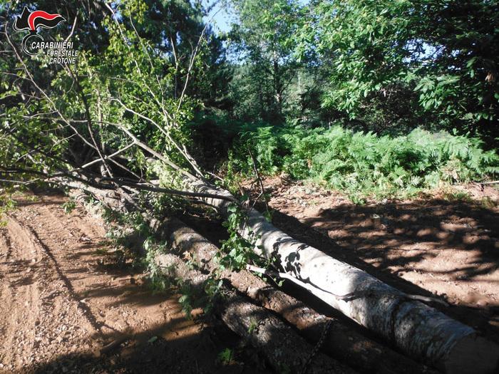 Mesoraca. Abbattuti 78 alberi, denunciate 3 persone
