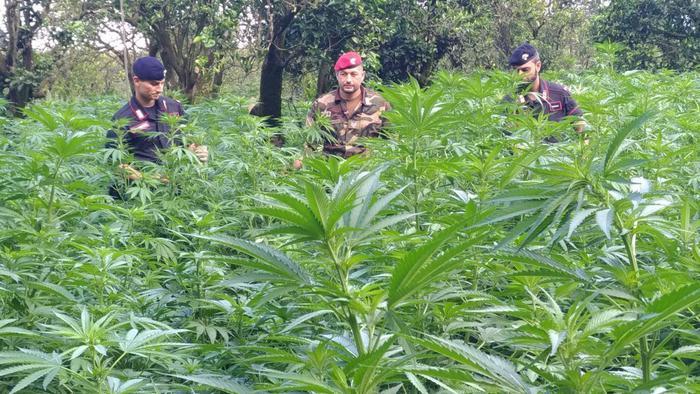 Candidoni (RC). Scoperti 28 mila arbusti di canapa indiana