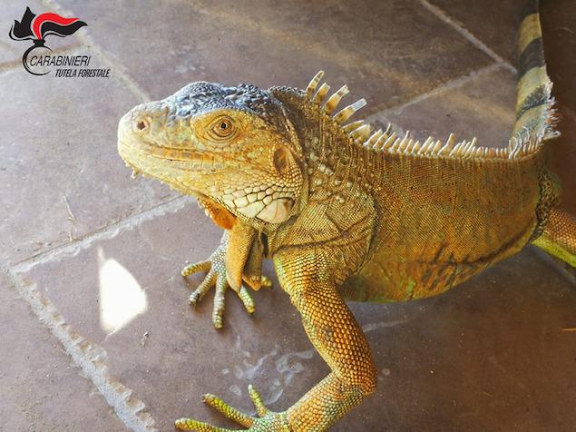 Esemplare di iguana in casa, sequestrato