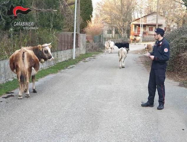 San Giorgio Morgeto (RC). Bovini in libertà, denunciata allevatrice