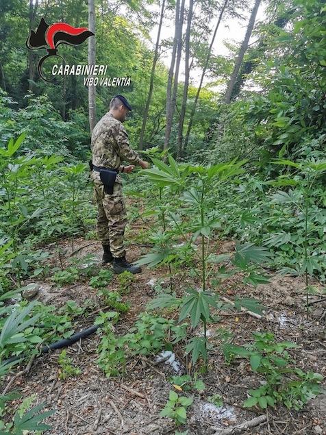 Arena (VV). Curavano piantagione di marijuana, 2 arresti