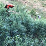 Pentone (CZ). Arrestata coppia in possesso di due piantagioni e arma clandestina