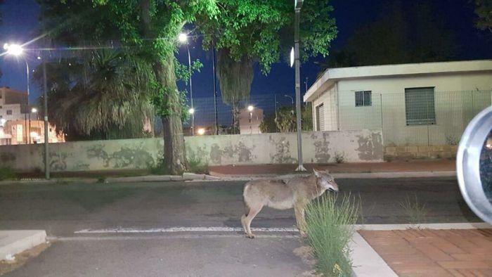 Branco di lupi avvistato in centro abitato Crotone