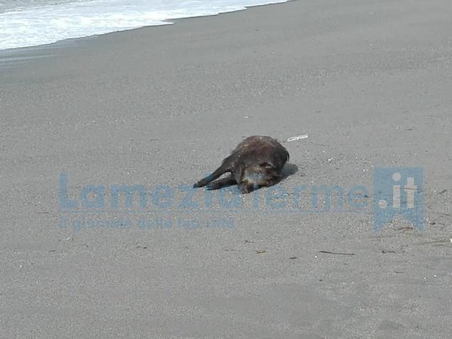 Lamezia. Maialino nero ritrovato morto sulla spiaggia