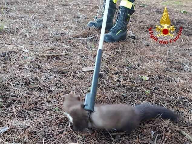 Lamezia. Al parco Dossi Comuni vigili del fuoco salvano faina caduta in una vasca