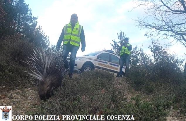La Polizia Provinciale recupera un istrice stremato dalla neve in Sila