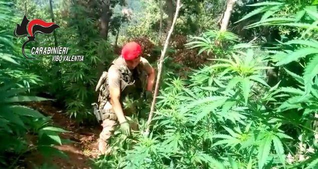 Droga: carabinieri scoprono coltivazione di canapa nel Vibonese