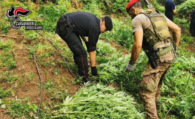 Droga: carabinieri sequestrano coltivazione di marijuana nel reggino