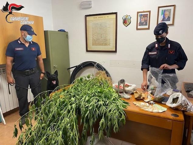 Droga: scoperte 50 piante canapa e 3 kg marijuana, un arresto