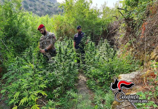 Droga: sorpresi a coltivare piantagione canapa, tre arresti