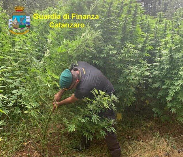 Maxi sequestro di marijuana: oltre 3.000 piante sottratte al traffico illecito