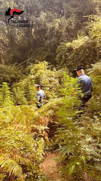 Tiriolo: carabinieri scoprono piantagione canapa indiana