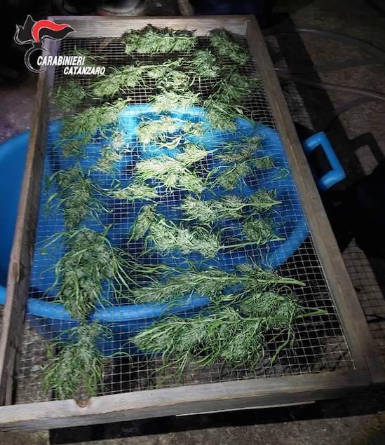 Carlopoli: coltivava cannabis nel suo terreno, arrestato 52enne e denunciata la moglie