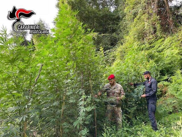 Droga: Carabinieri scoprono nel reggino coltivazione canapa indiana