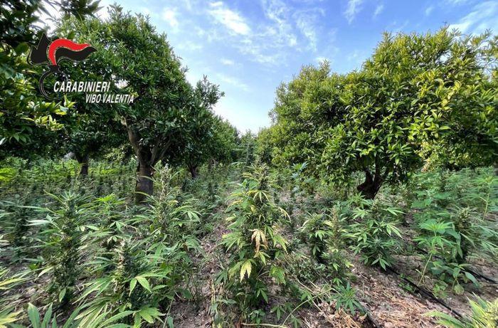 Droga: carabinieri sequestrano coltivazione nel Vibonese