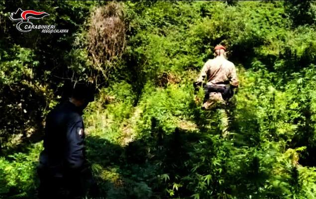 Droga: scoperta dai carabinieri piantagione di canapa a Cinquefrondi