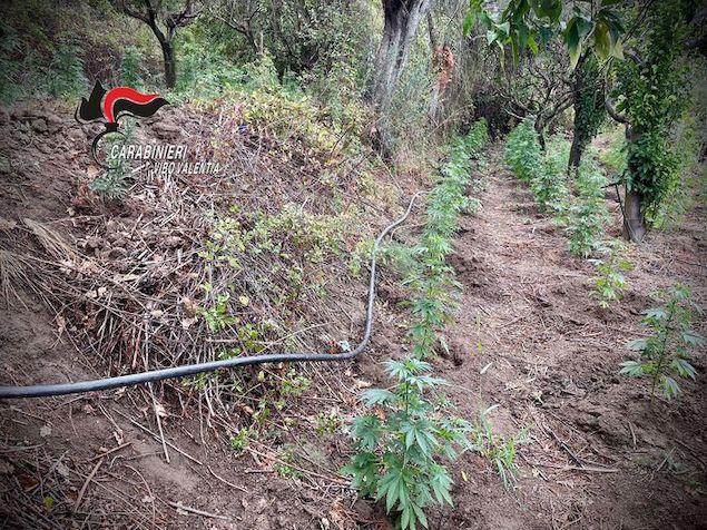 Droga: scoperta piantagione canapa nel vibonese, due arresti
