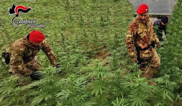Droga: sequestrata piantagione di marijuana a Rizziconi