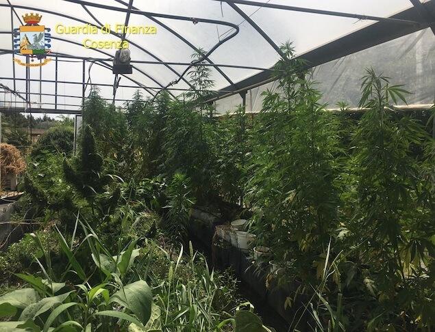 Sequestrati oltre 800 kg di marijuana e un impianto di produzione illegale