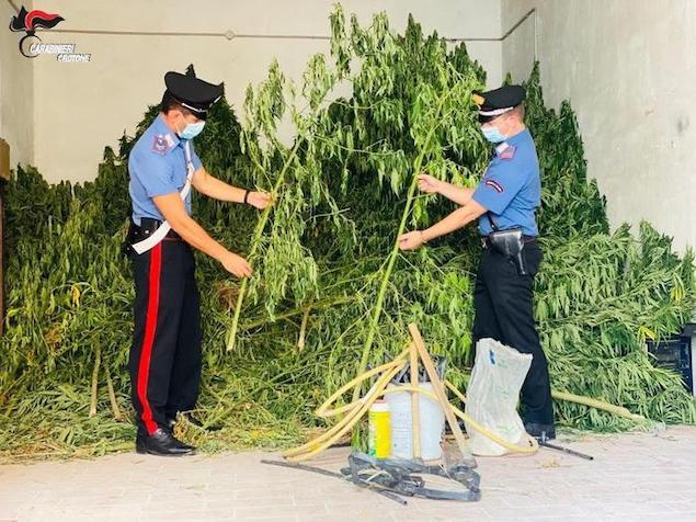 Sorpreso a irrigare marijuana, arrestato dipendente comunale