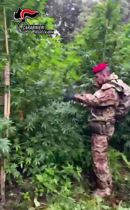 Droga: coltivazione di canapa scoperta dai carabinieri