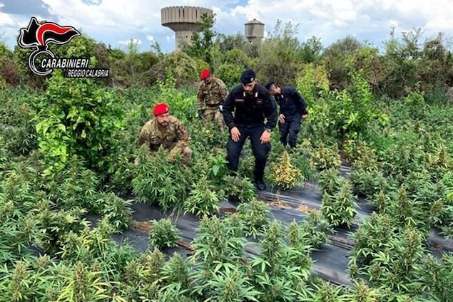 Droga: scoperta piantagione di marijuana nel reggino, 3 arresti