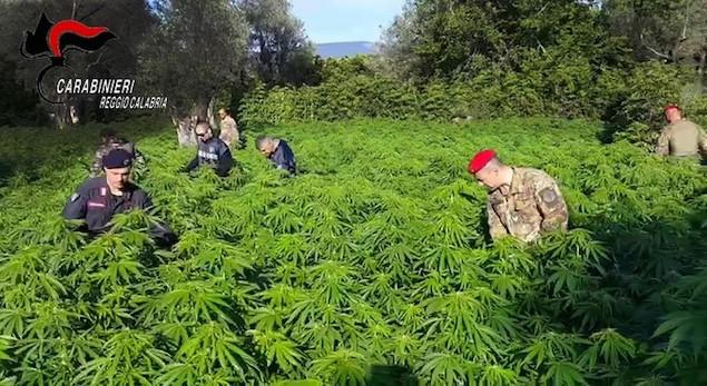 Droga: scoperte 2 piantagioni di canapa indiana a Placanica
