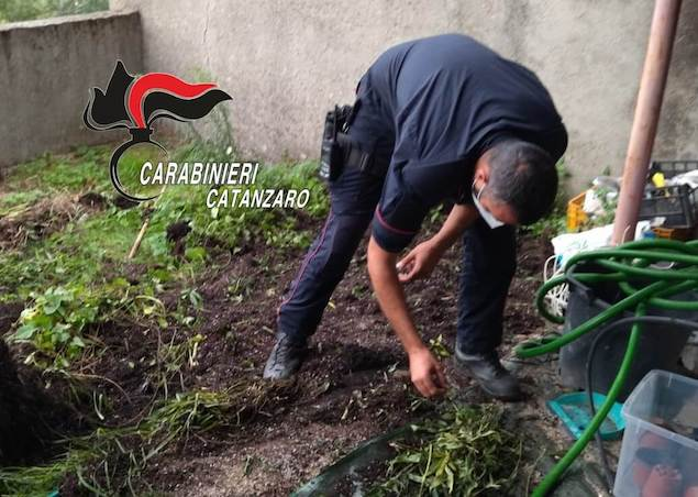 Vallefiorita (CZ). Coltivava marijuana in giardino. Arrestato dai Carabinieri